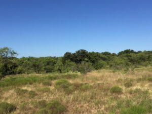 Oaks and Mesquites